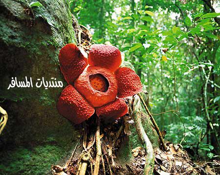Bunga Pakma (Rafflesia) tumbuh dari pohon